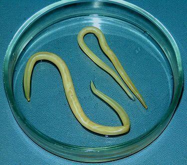 Аскарида паразит